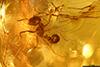 http://mczbase.mcz.harvard.edu/specimen_images/entomology/paleo/large/PALE-33950_Solenopsis_sp.jpg