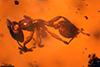 http://mczbase.mcz.harvard.edu/specimen_images/entomology/paleo/large/PALE-33953_Solenopsis_sp.jpg