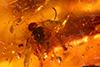 http://mczbase.mcz.harvard.edu/specimen_images/entomology/paleo/large/PALE-34028_syn5_Apocrita.jpg