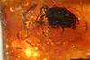 http://mczbase.mcz.harvard.edu/specimen_images/entomology/paleo/large/PALE-34029_syn1_Coleoptera.jpg