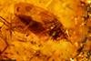 http://mczbase.mcz.harvard.edu/specimen_images/entomology/paleo/large/PALE-34030_syn1_Auchenorrhyncha.jpg