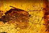 http://mczbase.mcz.harvard.edu/specimen_images/entomology/paleo/large/PALE-34032_Auchenorrhyncha.jpg