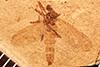 http://mczbase.mcz.harvard.edu/specimen_images/entomology/paleo/large/PALE-3463_Mycetophaetus_intermedius_holotype.jpg