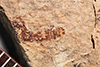 http://mczbase.mcz.harvard.edu/specimen_images/entomology/paleo/large/PALE-346_Polycentropus_exesus_type.jpg