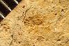 http://mczbase.mcz.harvard.edu/specimen_images/entomology/paleo/large/PALE-3479_Necropsylla_rigida_type.jpg