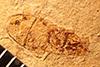 http://mczbase.mcz.harvard.edu/specimen_images/entomology/paleo/large/PALE-3487_Planocephalus_aselloides_type.jpg