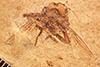 http://mczbase.mcz.harvard.edu/specimen_images/entomology/paleo/large/PALE-3490a_Paloestrus_oligocenus_holotype.jpg