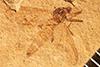 http://mczbase.mcz.harvard.edu/specimen_images/entomology/paleo/large/PALE-3494_Mycetophaetus_intermedius_holotype.jpg