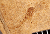 http://mczbase.mcz.harvard.edu/specimen_images/entomology/paleo/large/PALE-35089_Nematocera_pupa.jpg