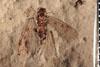http://mczbase.mcz.harvard.edu/specimen_images/entomology/paleo/large/PALE-3536_Lemmatophora_typa_etho-PartA.jpg