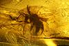 http://mczbase.mcz.harvard.edu/specimen_images/entomology/paleo/large/PALE-35394_Formicidae.jpg