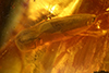 http://mczbase.mcz.harvard.edu/specimen_images/entomology/paleo/large/PALE-35399_Elateridae.jpg
