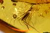 http://mczbase.mcz.harvard.edu/specimen_images/entomology/paleo/large/PALE-35403_Chironomidae.jpg