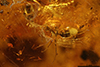 http://mczbase.mcz.harvard.edu/specimen_images/entomology/paleo/large/PALE-35404_syn1_Formicidae.jpg