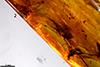 http://mczbase.mcz.harvard.edu/specimen_images/entomology/paleo/large/PALE-35405_Dolichopodidae.jpg