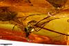 http://mczbase.mcz.harvard.edu/specimen_images/entomology/paleo/large/PALE-35405_syn1_Dolichopodidae.jpg