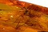 http://mczbase.mcz.harvard.edu/specimen_images/entomology/paleo/large/PALE-35405_syn2_Opiliones_2.jpg