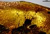 http://mczbase.mcz.harvard.edu/specimen_images/entomology/paleo/large/PALE-35408_Cecidomyiidae_1.jpg