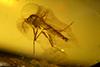 http://mczbase.mcz.harvard.edu/specimen_images/entomology/paleo/large/PALE-35410_syn1_Chironomidae.jpg