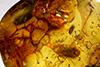 http://mczbase.mcz.harvard.edu/specimen_images/entomology/paleo/large/PALE-35413_Brachycera.jpg