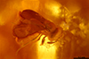 http://mczbase.mcz.harvard.edu/specimen_images/entomology/paleo/large/PALE-35416_syn2_Chalcidoidea.jpg