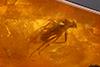 http://mczbase.mcz.harvard.edu/specimen_images/entomology/paleo/large/PALE-35420_syn1_Diptera.jpg