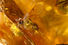 http://mczbase.mcz.harvard.edu/specimen_images/entomology/paleo/large/PALE-35421_syn4_Formicidae_qm.jpg