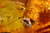 http://mczbase.mcz.harvard.edu/specimen_images/entomology/paleo/large/PALE-35423_Coleoptera.jpg