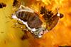 http://mczbase.mcz.harvard.edu/specimen_images/entomology/paleo/large/PALE-35423_syn2_Coleoptera.jpg