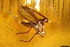 http://mczbase.mcz.harvard.edu/specimen_images/entomology/paleo/large/PALE-35425_syn3_Sciaridae.jpg