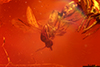 http://mczbase.mcz.harvard.edu/specimen_images/entomology/paleo/large/PALE-35428_syn3_Ceratopogonidae.jpg