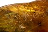 http://mczbase.mcz.harvard.edu/specimen_images/entomology/paleo/large/PALE-35430_Pselaphinae_1.jpg