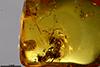 http://mczbase.mcz.harvard.edu/specimen_images/entomology/paleo/large/PALE-35440_Formicidae_1x.jpg