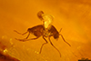 http://mczbase.mcz.harvard.edu/specimen_images/entomology/paleo/large/PALE-35450_syn3_Chironomidae.jpg