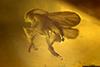 http://mczbase.mcz.harvard.edu/specimen_images/entomology/paleo/large/PALE-35453_syn1_Sciaridae_2.jpg