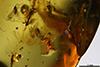 http://mczbase.mcz.harvard.edu/specimen_images/entomology/paleo/large/PALE-35455_Sciaridae_1.jpg