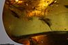 http://mczbase.mcz.harvard.edu/specimen_images/entomology/paleo/large/PALE-35455_Sciaridae_2.jpg