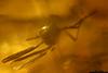 http://mczbase.mcz.harvard.edu/specimen_images/entomology/paleo/large/PALE-35455_syn11_Sciaridae.jpg