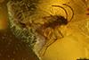 http://mczbase.mcz.harvard.edu/specimen_images/entomology/paleo/large/PALE-35455_syn1_Sciaridae.jpg