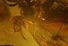 http://mczbase.mcz.harvard.edu/specimen_images/entomology/paleo/large/PALE-35455_syn7_Acari.jpg