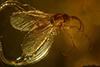 http://mczbase.mcz.harvard.edu/specimen_images/entomology/paleo/large/PALE-35455_syn8_Sciaridae.jpg