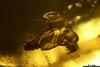 http://mczbase.mcz.harvard.edu/specimen_images/entomology/paleo/large/PALE-35455_syn9_Sciaridae.jpg