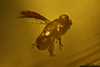 http://mczbase.mcz.harvard.edu/specimen_images/entomology/paleo/large/PALE-35457_syn3_Chalcidoidea.jpg