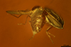 http://mczbase.mcz.harvard.edu/specimen_images/entomology/paleo/large/PALE-35457_syn4_Nematocera.jpg