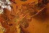 http://mczbase.mcz.harvard.edu/specimen_images/entomology/paleo/large/PALE-35459_syn4_Aphididae.jpg