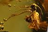 http://mczbase.mcz.harvard.edu/specimen_images/entomology/paleo/large/PALE-35461_syn1_Ichneumonidae.jpg