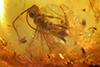 http://mczbase.mcz.harvard.edu/specimen_images/entomology/paleo/large/PALE-35463_Megalyridae_qm.jpg