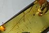 http://mczbase.mcz.harvard.edu/specimen_images/entomology/paleo/large/PALE-35464_Chironomidae.jpg