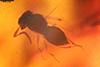 http://mczbase.mcz.harvard.edu/specimen_images/entomology/paleo/large/PALE-35466_syn2_Megaspilidae.jpg