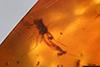 http://mczbase.mcz.harvard.edu/specimen_images/entomology/paleo/large/PALE-35466_syn3_Nematocera_qm.jpg